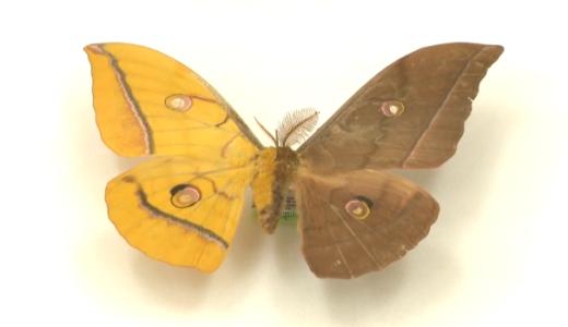 希少な雌雄モザイクのヤママユガを岡山県の高校生が発見――倉敷市立自然史博物館
