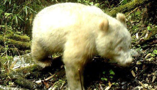 全身真っ白なアルビノのパンダを1年ぶりに再確認――四川省・臥龍自然保護区