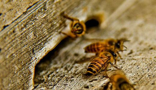 ミツバチは入り口に動物の糞を配置してスズメバチを撃退する――カナダ・ゲルフ大学