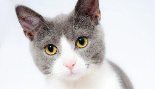 新型コロナウイルスに感染した猫は無症状でも肺に長期的なダメージが残る――東京大学
