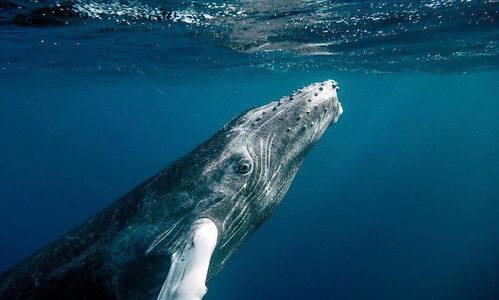 クジラはもしかしたら「磯の香り」をたどってエサ場を探しているのかもしれない――熊本大学