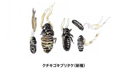 日本初、世界で3例目のゴキブリを宿主とする新種の冬虫夏草を発見――琉球大学