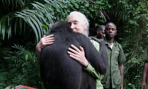 治療を終えたチンパンジー、保護チームと最後のお別れ(動画)