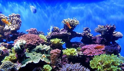 サンゴは高温に強い色と弱い色があることが明らかに――沖縄科学技術大学院大学