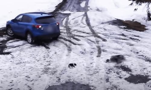 車にひかれそうなチワワを間一髪で救出するボーダーコリー(動画)