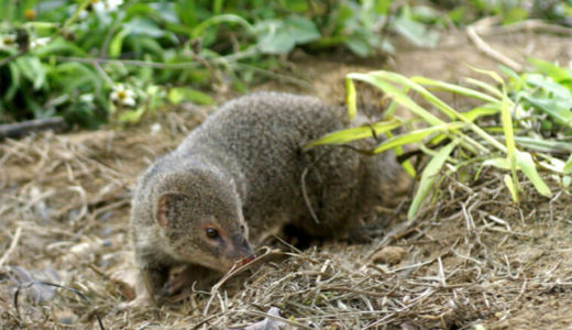 奄美大島でのマングース捕獲数が3年近くもゼロ、探索犬やカメラでも見つからず――環境省
