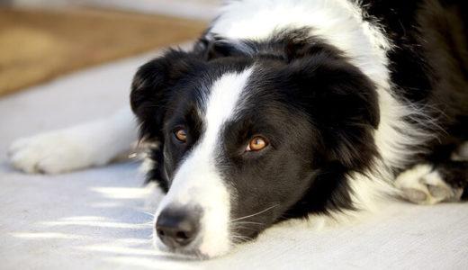 一部の賢い犬は新しい言葉をすぐに覚える――エドヴィシュ・ローランド大学