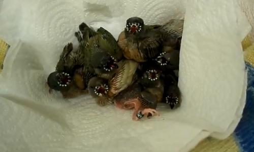 コキンチョウのヒナはなぜこれほどまでに奇妙な模様を持っているのか?(閲覧注意)