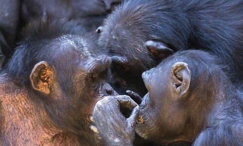 チンパンジーは共通の敵を前に仲間同士の結束を強める――京都大学