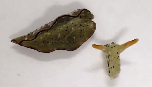 一部のウミウシは頭部だけを残して胴体を切り捨て、再びからだ全体を再生させる――奈良女子大学