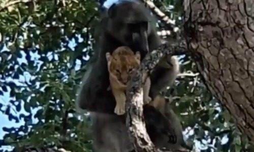 ヒヒがライオンの赤ちゃんを抱えて毛づくろい、まるで『ライオン・キング』のようだと話題に(動画)