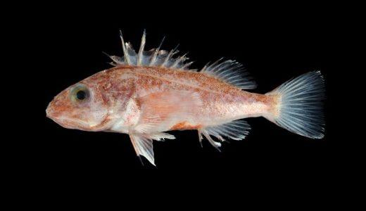 これまで1種のみと思われてきた魚が実は3種、アズキカサゴとスミクイアカカサゴと命名――鹿児島大学