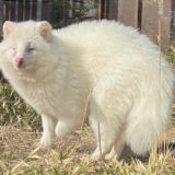 三重県と長野県でそれぞれ発見されたアルビノの白いタヌキは親戚同士であることが明らかに――京都大学
