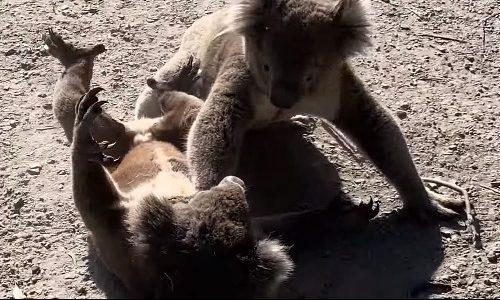 頼むからそんな戦い方はやめてくれ――コアラの喧嘩があまりに激しすぎる