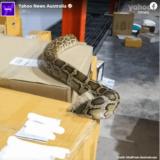 大型フィギュアの小包から巨大なニシキヘビが現れる――タイ・バンコク