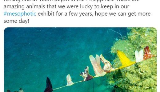 釣り糸にくっついたコトクラゲがまるで干した洗濯物のよう、フィリピンの水深120mの海で撮影
