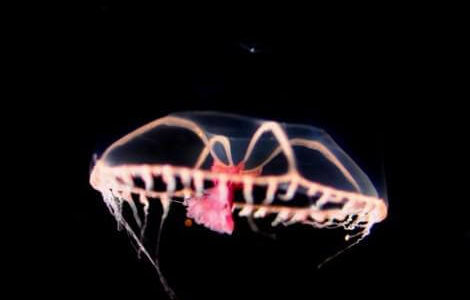 水深1,127mの深海で回収された空き缶から日本では未発見のクラゲが見つかる――北里大学