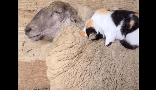 羊に顔をうずめてモフモフする猫、お返しはマッサージ(動画)