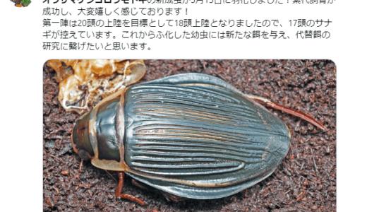 国内で初めてオウサマゲンゴロウモドキの累代飼育に成功――石川県ふれあい昆虫館
