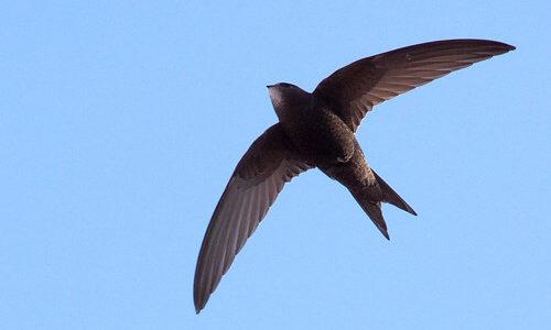 生涯の大半を飛行して過ごすヨーロッパアマツバメ、1日で平均800kmも移動できることが明らかに――ルンド大学