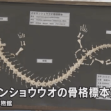 オオサンショウウオの骨格標本を山口大学獣医学部の学生が作製――山口大学