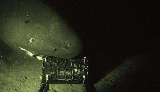 オンデンザメは世界で最も泳ぎの遅い魚類であることが明らかに――海洋研究開発機構