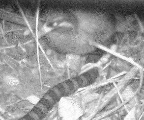 ヤンバルクイナが巣にやってきた蛇からヒナを守る行動をはじめて確認――山階鳥類研究所