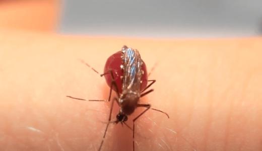 蚊は血を吸い過ぎて爆発はしないが、お腹の神経索を切断すると血を吸い続けて破裂する(閲覧注意)
