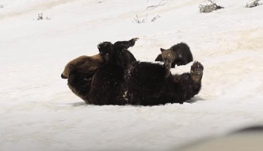 熊の親子が雪の上で一緒にゴロゴロ転がる姿が目撃される――アメリカ・ワイオミング州