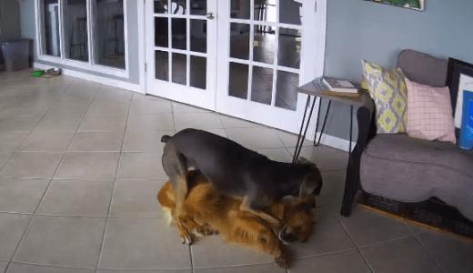 訓練していないのに同居犬に発作が出るとすぐに横にして落ち着かせる犬