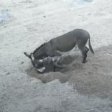 ウマやロバは砂を掘り返して「井戸」を作ることが明らかに――デンマーク・オーフス大学
