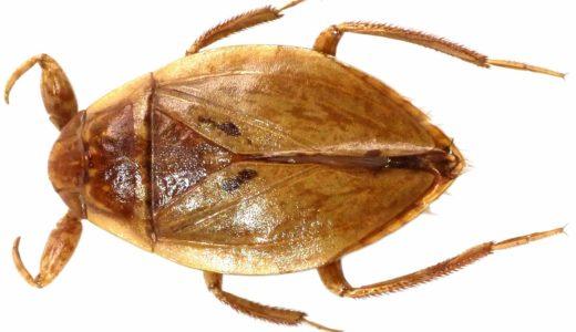 日本では絶滅したと思われていた「タイワンコオイムシ」を56年振りに発見――九州大学・福岡県保健環境研究所