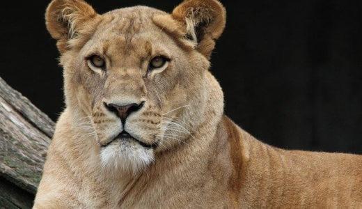 インドの動物園で新型コロナウイルス感染疑いのライオンが死亡