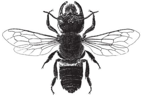 640px-Megachile_pluto