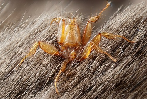640px-Nycteribiidae_(parasite_fly_living_on_bats)_(5021769088)